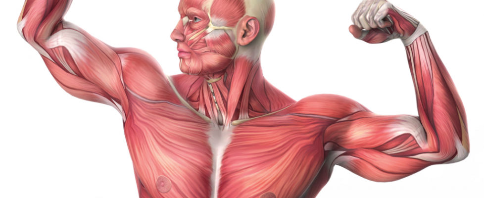 Muscle Fibers-09-09